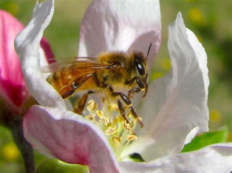 apple bee honey bees wsu tree fruit washington state university