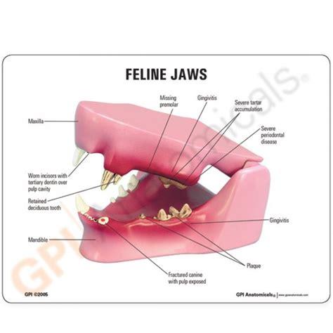 cat teeth diagram feline jaw model 9190 cat teeth anatomy gpi anatomicals