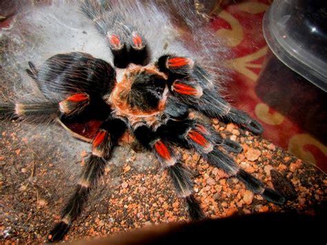 Brachypelma Auratum Baby Tarantula 1 brachypelma auratum mexican knee rozzer s tarantulas