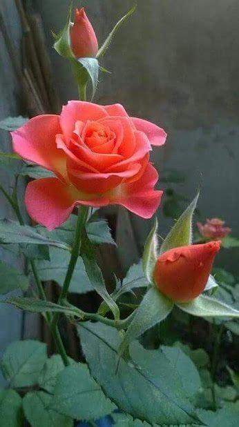 imagenes de rosa y mas rosas hermosas flores esculturas plantas pinterest