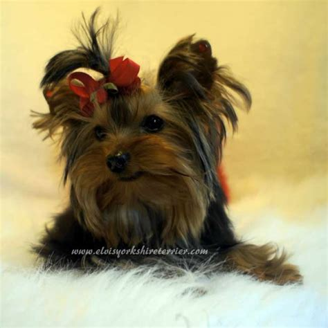 micro yorkies for sale micro yorkie pup for sale