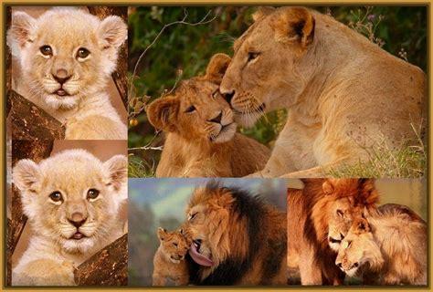 imagenes de leones y frases imagenes de leones con frases bonitas archivos imagenes