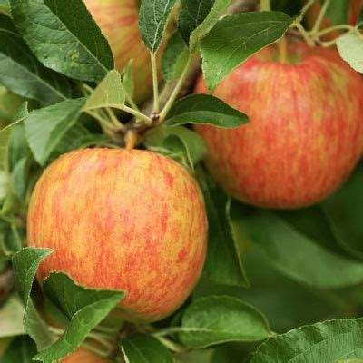 tropical fruit trees for sale uk 1000 ideas about fruit trees for sale on buy