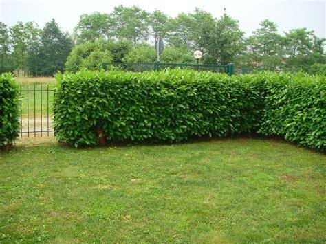 giardini con siepi tipi di siepe potatura tipologie di siepe