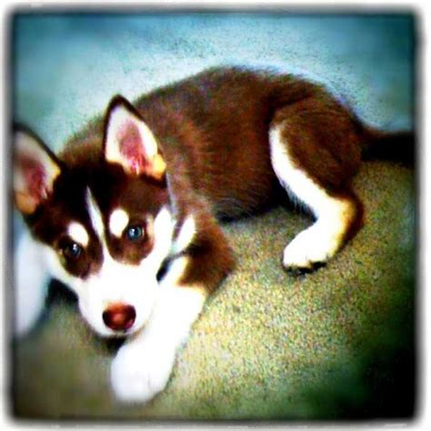 puppies for sale fort collins the 25 best huskies for sale ideas on pomsky price baby huskies for sale
