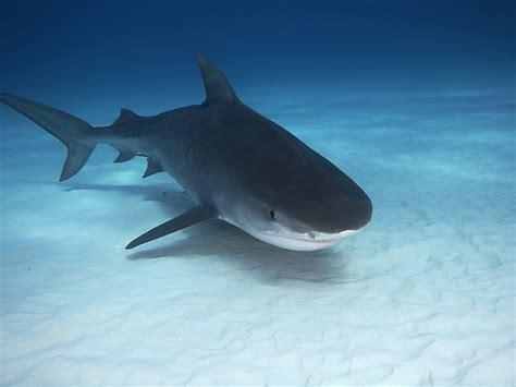 baby shark weight can shark cartilage cure cancer drweil com