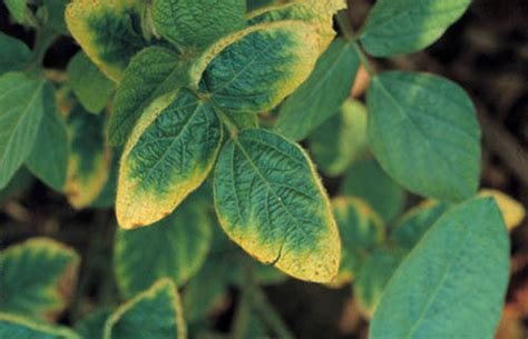 potassium deficiency in plants haifa group