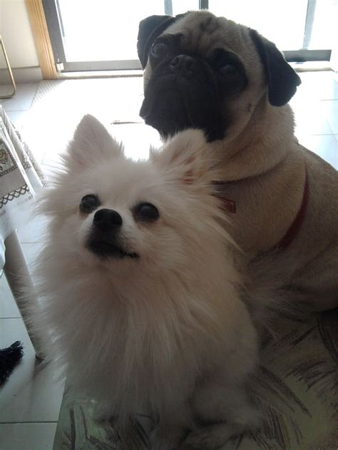 pomeranian and pug white pomeranian and pug pets