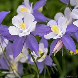 blue columbine seeds aquilegia caerulea american meadows