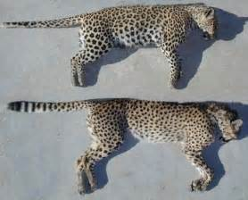 Difference Between Leopard And Cheetah And Jaguar What S The Difference Between Cheetahs Cougars Jaguars