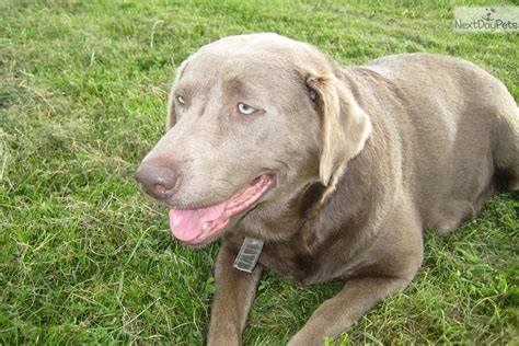 silver lab puppies for sale near me labrador retriever puppy for sale near buffalo new york d436bb84 8a21