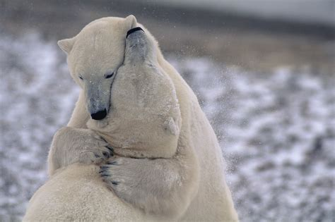 adotta  orso polare sostieni il wwf italia