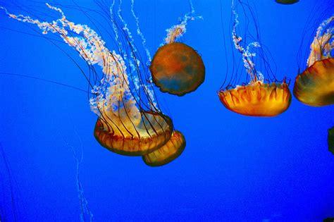 L Jellyfish by Jellyfish At Monterey Bay Aquarium Gr 233 Gory Massal