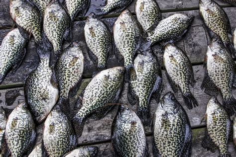 winter crappie jigging spoons    deep game fish