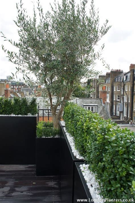 79 best images about the hardy olive tree on pinterest gardens terrace and planters