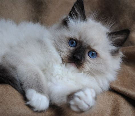 ragdoll vs ragdoll 261 best ragdoll cats images on cats