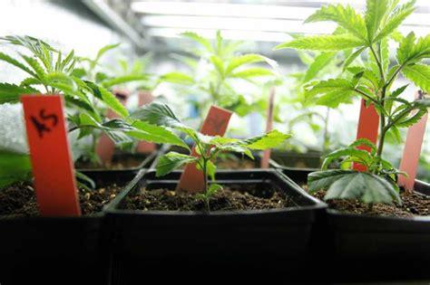 semillas de marihuana interior cultivo marihuana interior cultivo plantas marihuana en