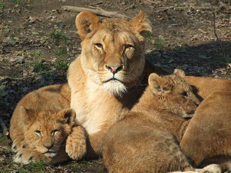 minicuentos de leones y photo gratuite lion mama femme zoo animaux image gratuite sur pixabay 762698