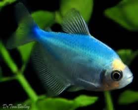 Blue Tetra Skirt tetra for sale   aquariumfish.net