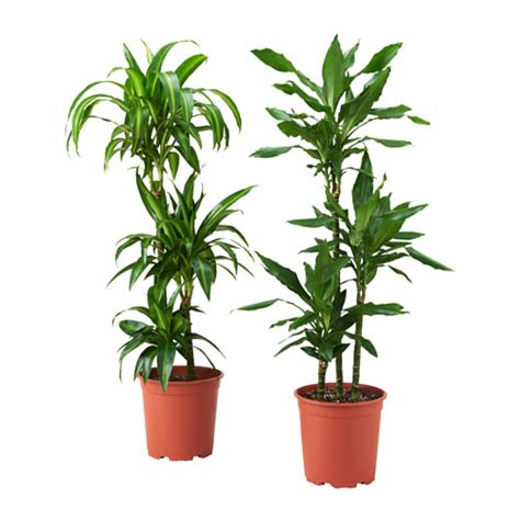 dracaena marginata potted plant ikea dracaena deremensis potted plant ikea