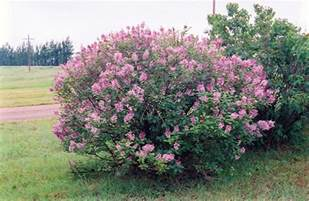 Flowering Shrubs Canada - syringa x prestoniae miss canada google search nh colonial revival plant species