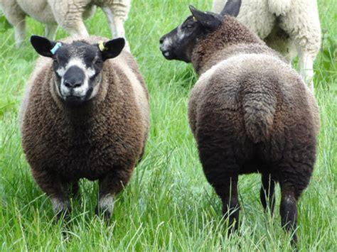 Bibit Kambing Texel gambar domba texel dataran tinggi dieng gambar kambing di rebanas rebanas