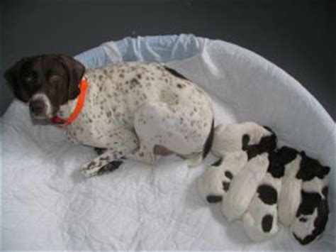 german shorthaired pointer puppies mn german shorthaired pointer puppies in minnesota