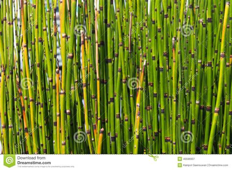 bamboo color texture of mini bamboo green color stock photo image