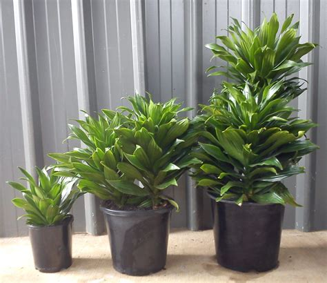 indoor plants no light dracaena compacta loutos yasmeen flowers