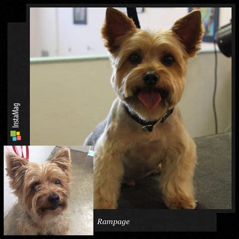 yorkie before and after grooming rage 7yo yorkie before and after yelp