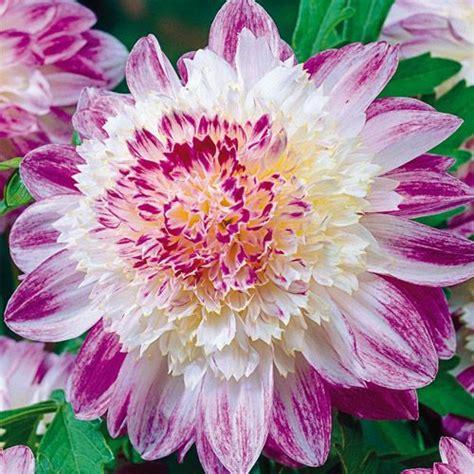 que sera dahlia flowers pinterest