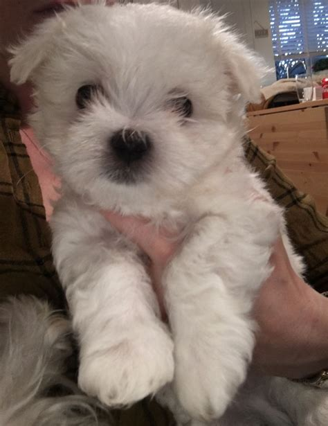 maltese puppies for sale colorado pedigree maltese puppies for sale oldham greater manchester pets4homes