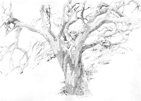 eucalyptus tree coloring page eucalyptus tree drawing