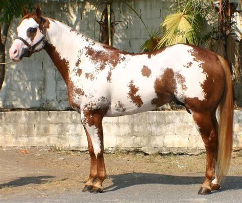 caballos sementales cuarto milla m 225 s de 25 ideas incre 237 bles sobre caballos cuarto de milla