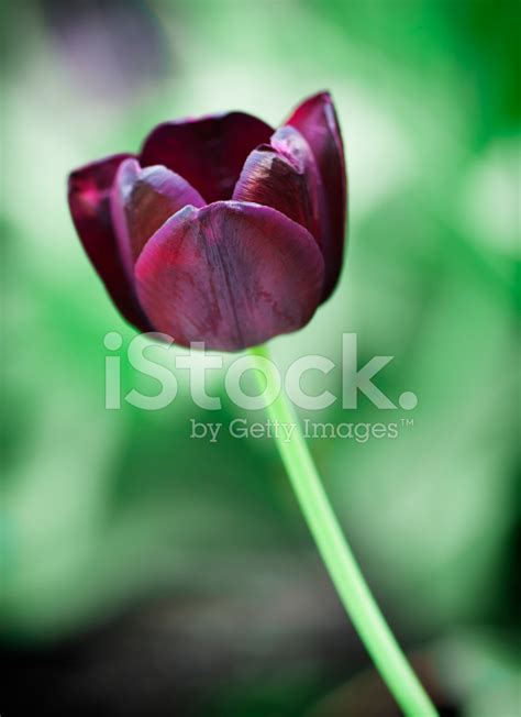 fiore tulipano nero fiore tulipano nero home visualizza idee immagine