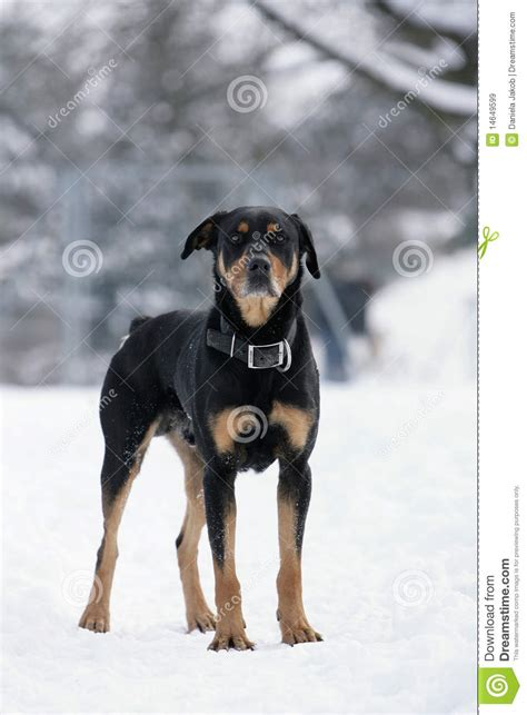rottweiler pregnancy time rottweiler pictures breeds picture