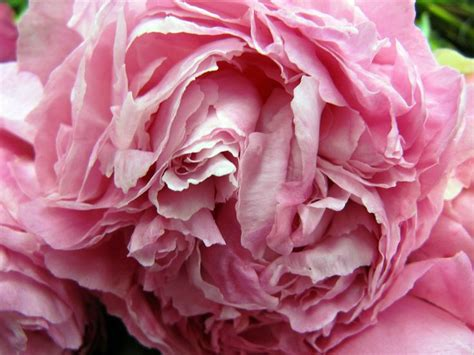 peonies in season 17 best images about peonies on pinterest gardens my