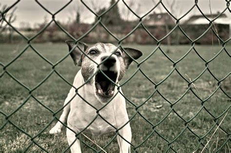 medication for aggressive dogs most aggressive breeds top list of the most dangerous dogs