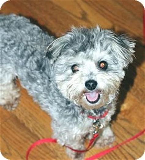 yorkie rescue atlanta atlanta ga yorkie terrier poodle miniature mix meet sc a for