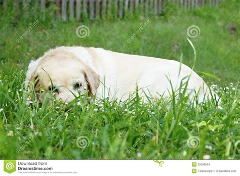 lab puppies indiana labrador retriever in grass stock images image 25099944