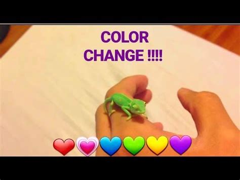veiled chameleon changing colors veiled chameleon camo changing colors