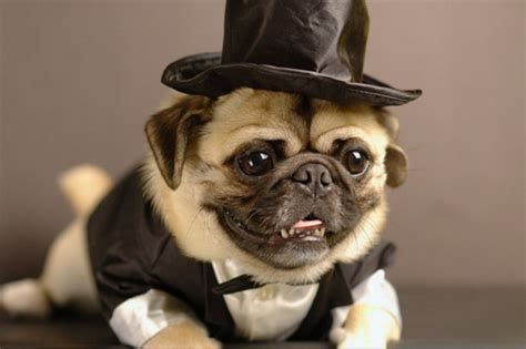 pug with hat pugs in hats melt your