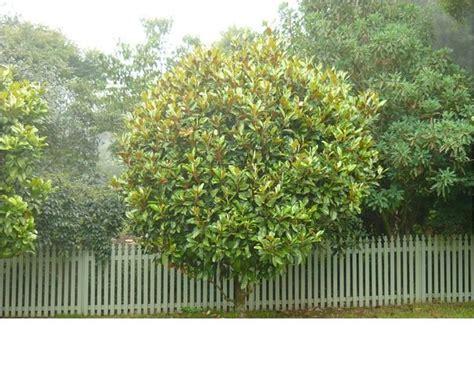 small ornamental trees australia 100 images ornamental