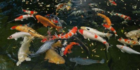 Bibit Ikan Koi Bagus mengenal kualitas ikan koi bibitikan net