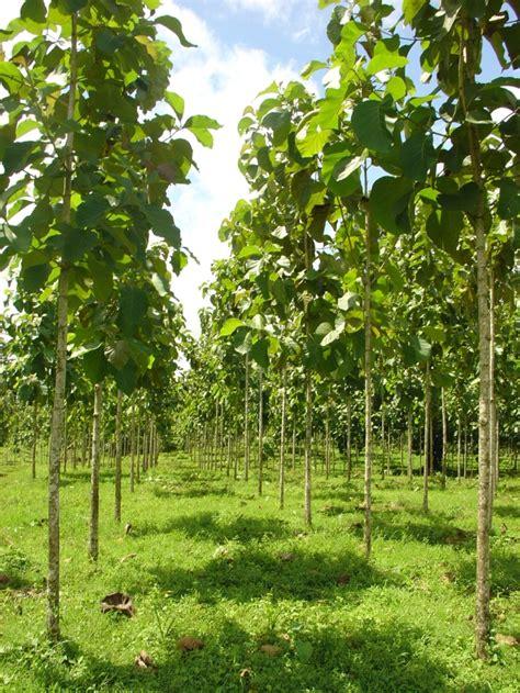 belajar bertani modern pohon jati