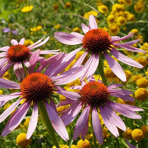 hof berg garten onlineshop echinacea purpurea purpursonnenhut hof berg garten