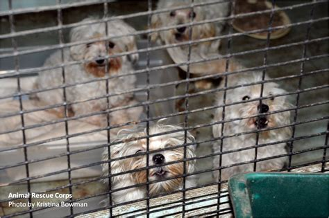 puppy mill puppy mills animal rescue corps