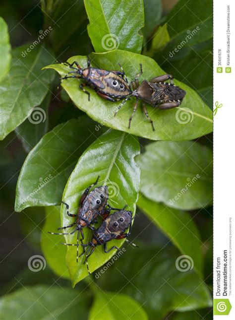 Gardenia Insects Garden Pests Royalty Free Stock Photos Image 30441678