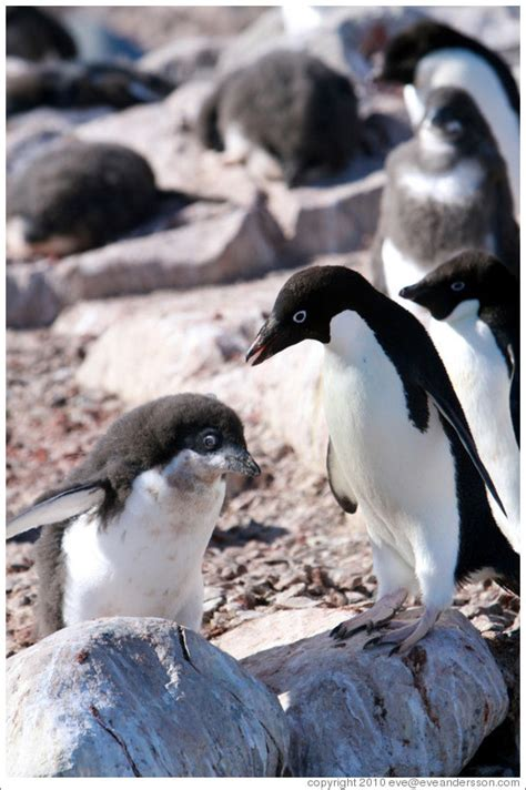 Parent and baby Ad?e Penguins. (Photo ID 16315-fishisla)