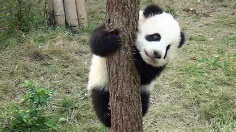 Pandas Wallpaper